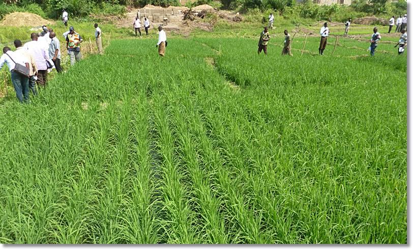 Las plantaciones de arroz están extendidas por esta región.
