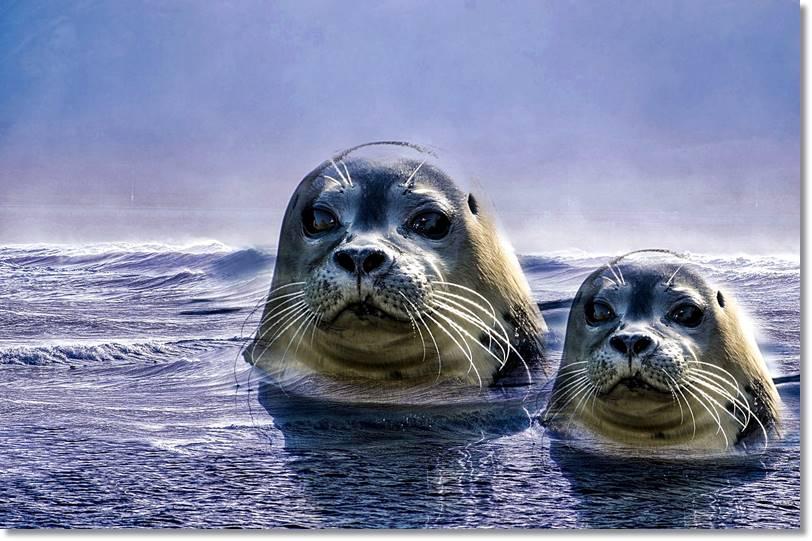 Localizadas las focas con ayuda de sus potentes catalejos, los esquimales de Baffin reptan por la nieve y también imitan todos y cada uno de los movimientos de estos animales hasta encontrarse a una distancia que les deje alcanzarles con sus arpones