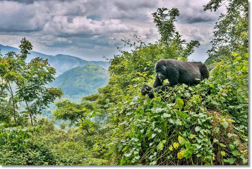 En los parques de Buganda es posible encontrar gorilas por lo que el turismo de este tipo es común. Fte.Nationalgeographic.com