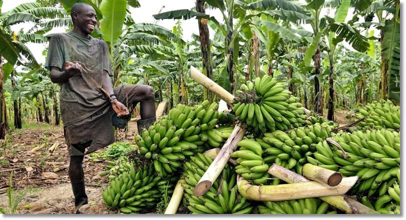 Plantaciones de Buganda - Etnias.net