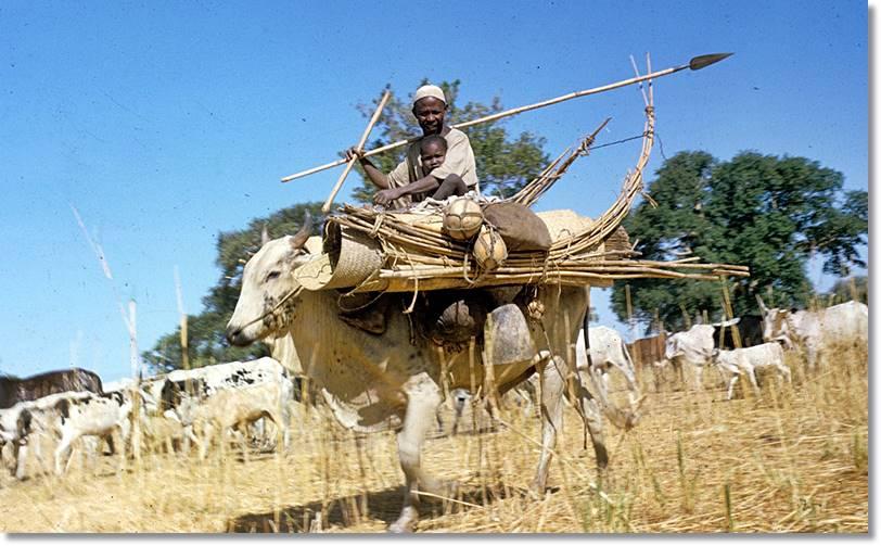 Los baggaras se sirven de los toros como medio de transporte cuando van de un campamento a otro - etnias.net