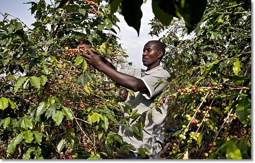 Uganda es de los mayores productores de café a nivel mundial