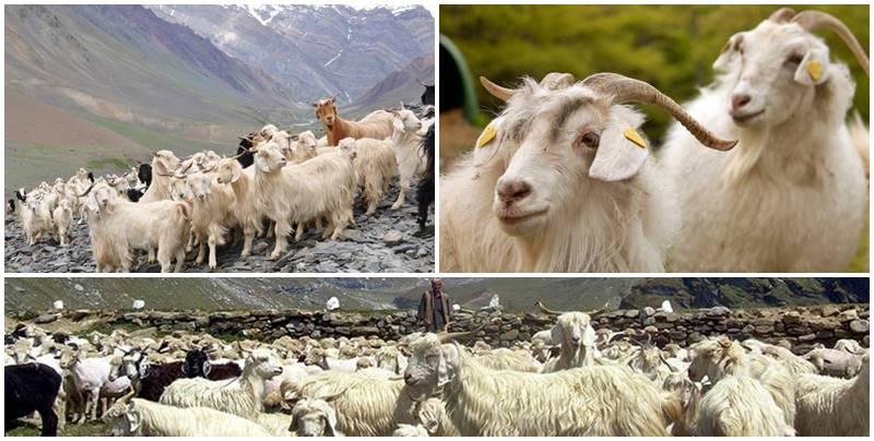 Cabras de cuya fina lana se extrae el tejido cachemir y posteriormente se fabrica la ropa cachemir - etnias.net