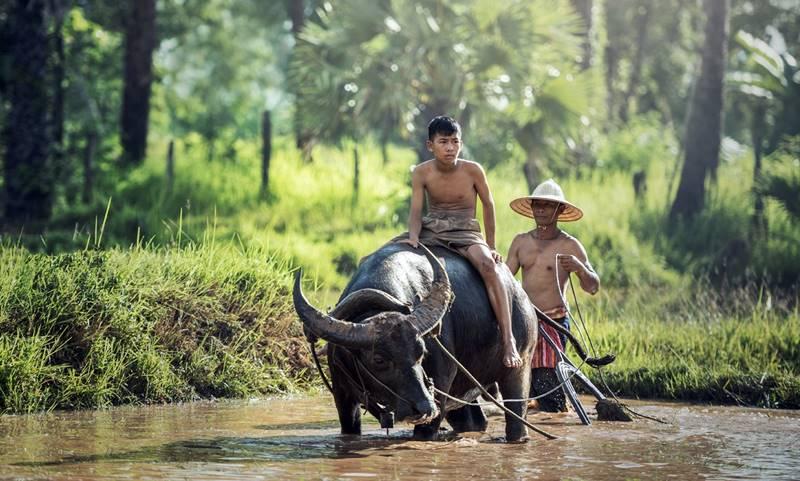 El búfalo es el animal más ideal para labrar los arrozales. Si bien en una gran parte de China sigue siendo superflua la mecanización, debido a la exuberancia de mano de obra, en muchas comunas ya se emplean máquinas modernas.