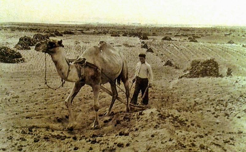 Los guanches utilizaban dromedarios para arar la tierra