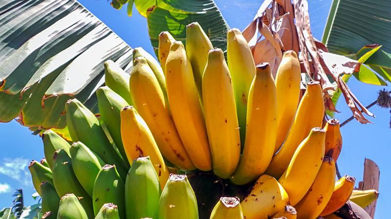 Plátanos canarios - guanches canarios