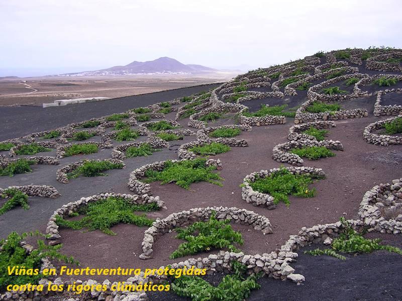 Viñas en Fuerteventura protegidas contra el viento